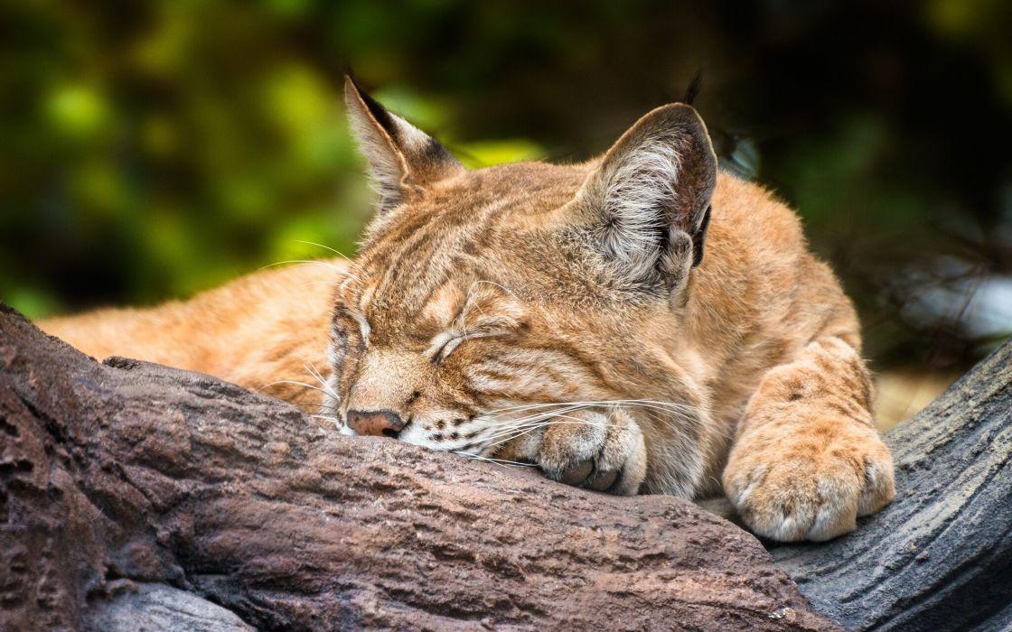 sleeping lynx wallpaper