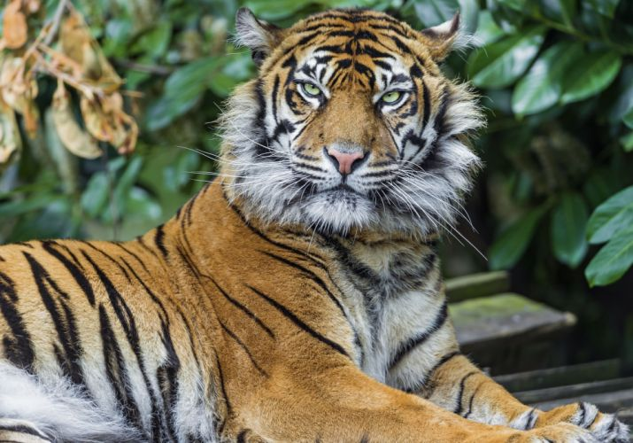tiger predator look wallpaper