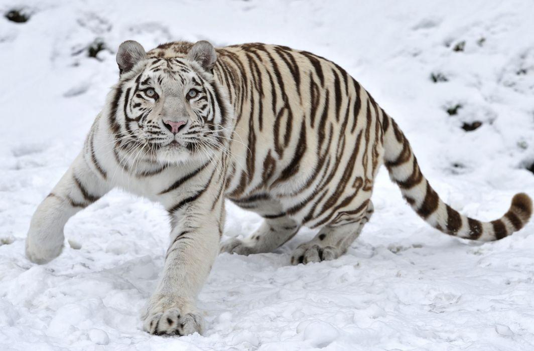 tiger predator snow winter wallpaper