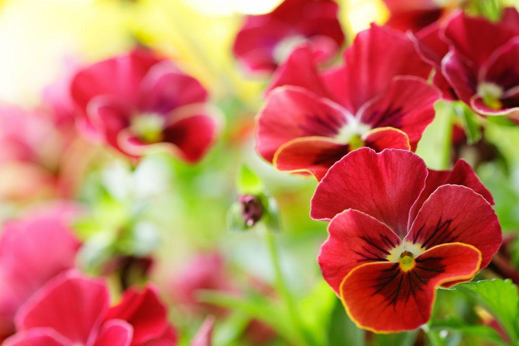 Pansies Red Flowers wallpaper