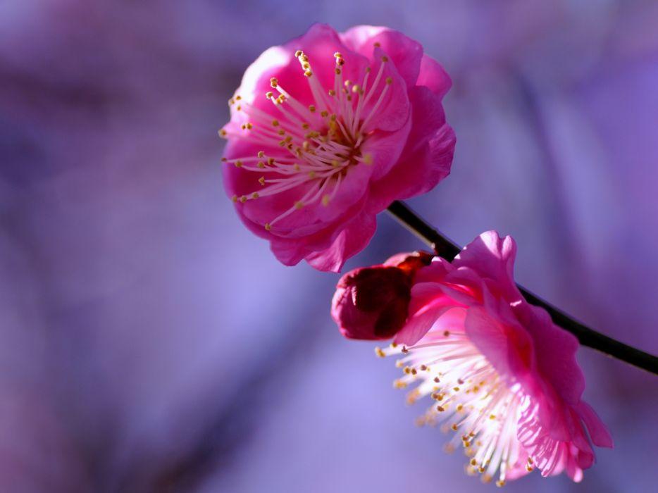 Plum tree twig crimson flowers petals macro blur lilac purple bokeh wallpaper