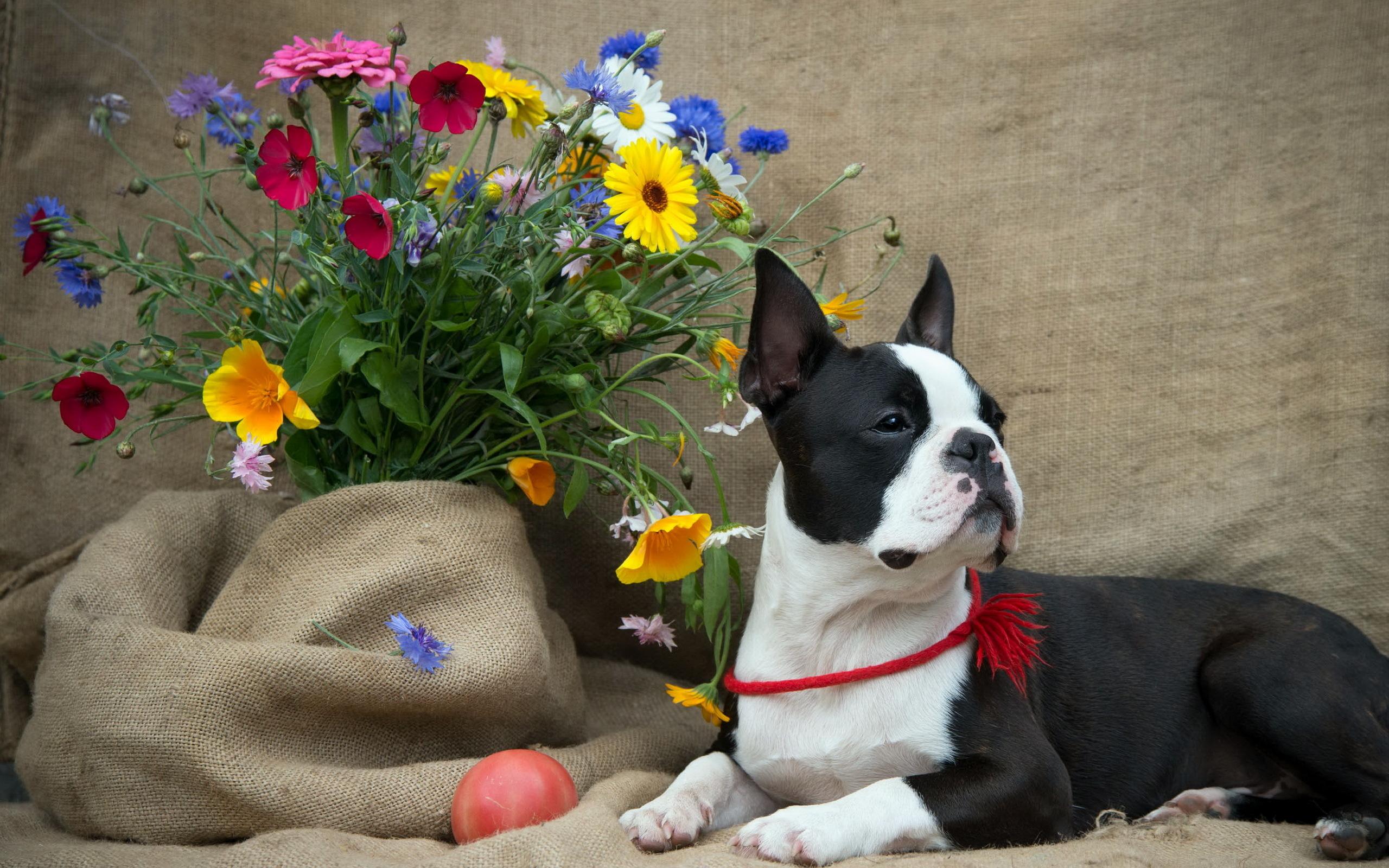 boston terrier flowers dog wallpaper 2560x1600 132622