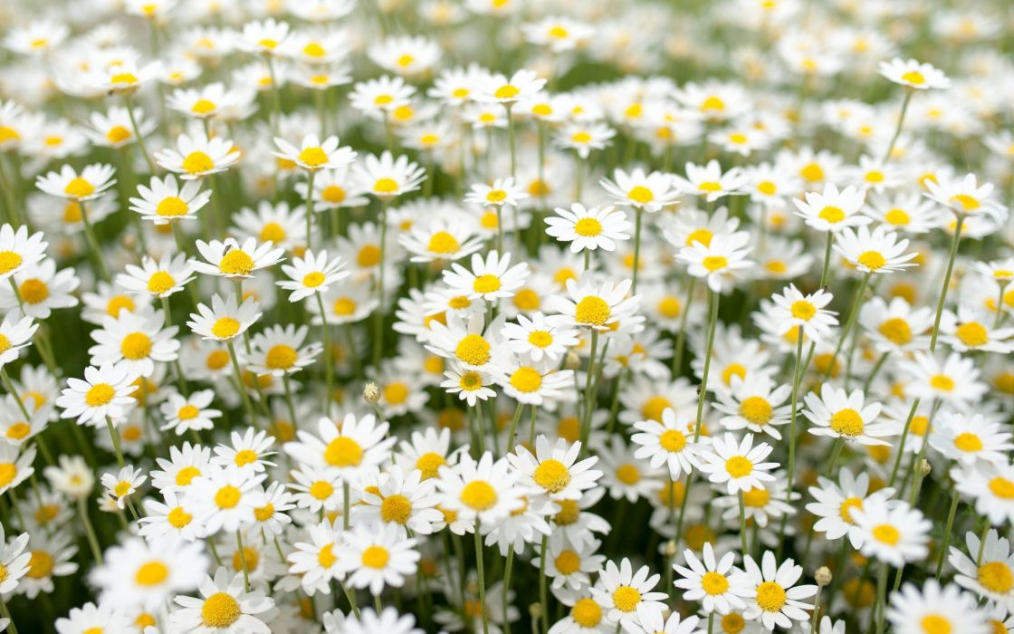 daisies meadow wallpaper