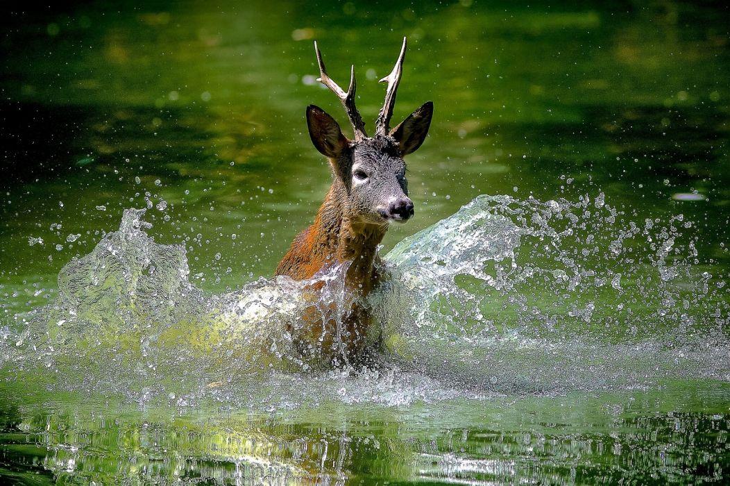 deer water spray wallpaper