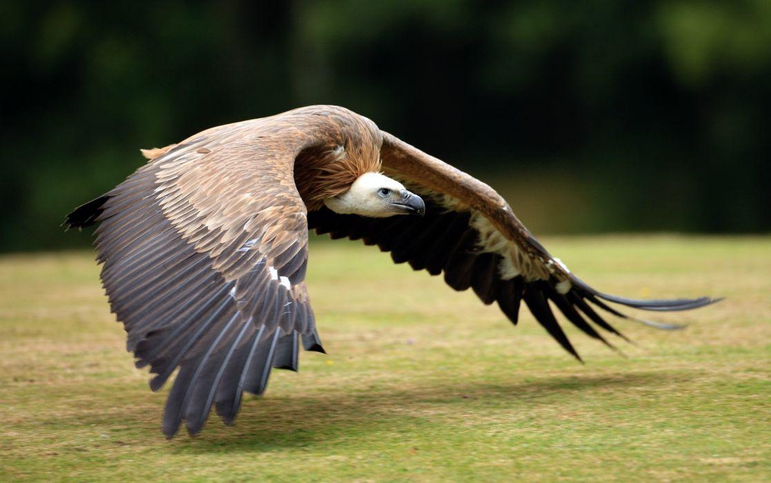 feathers bird flying wings neck wallpaper