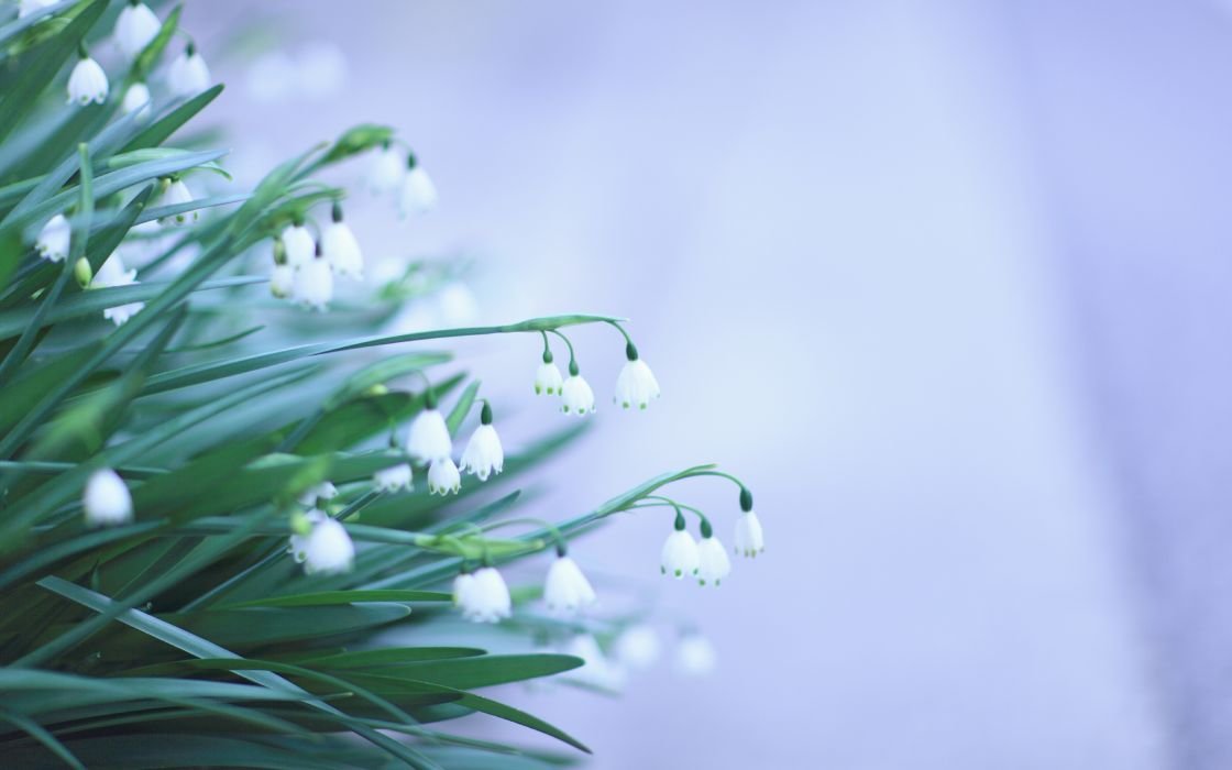 flowers snowdrops white green wallpaper