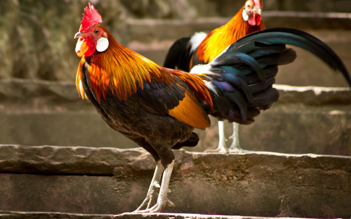 Rooster chicken wallpaper