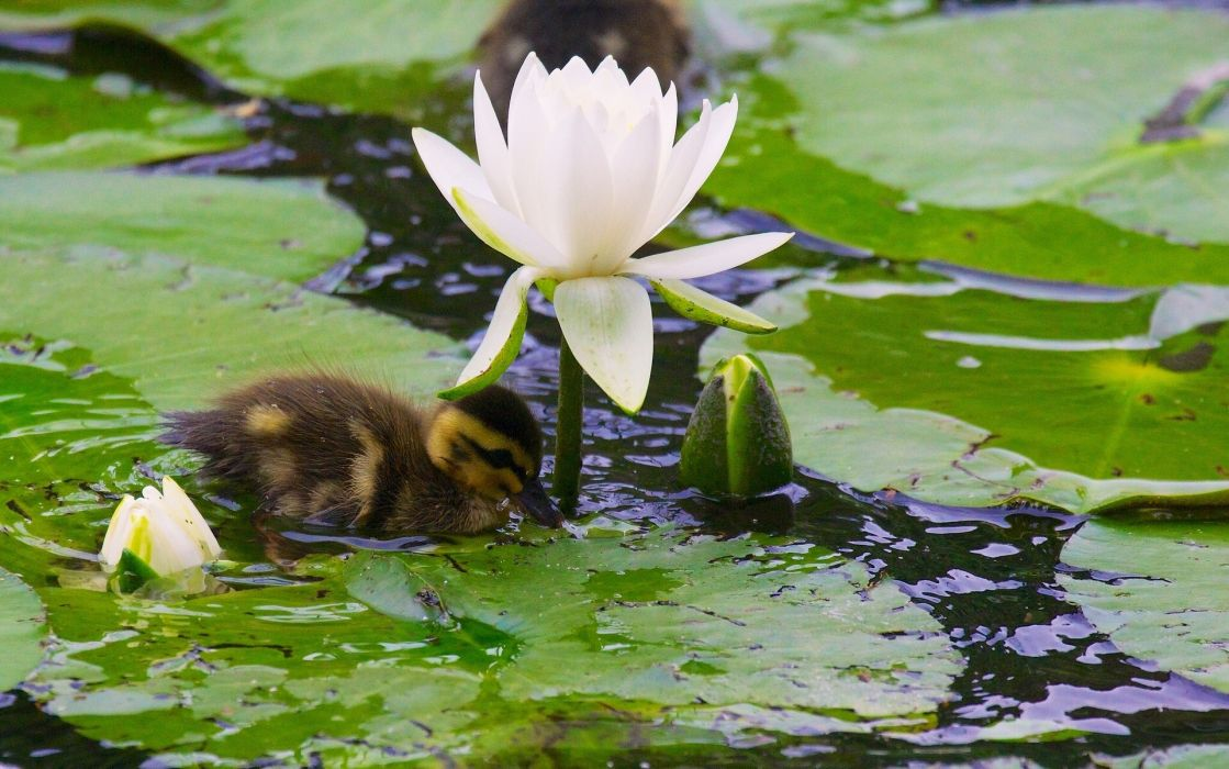 duck duckling chick water lily Nymphea buds leaves bokeh wallpaper
