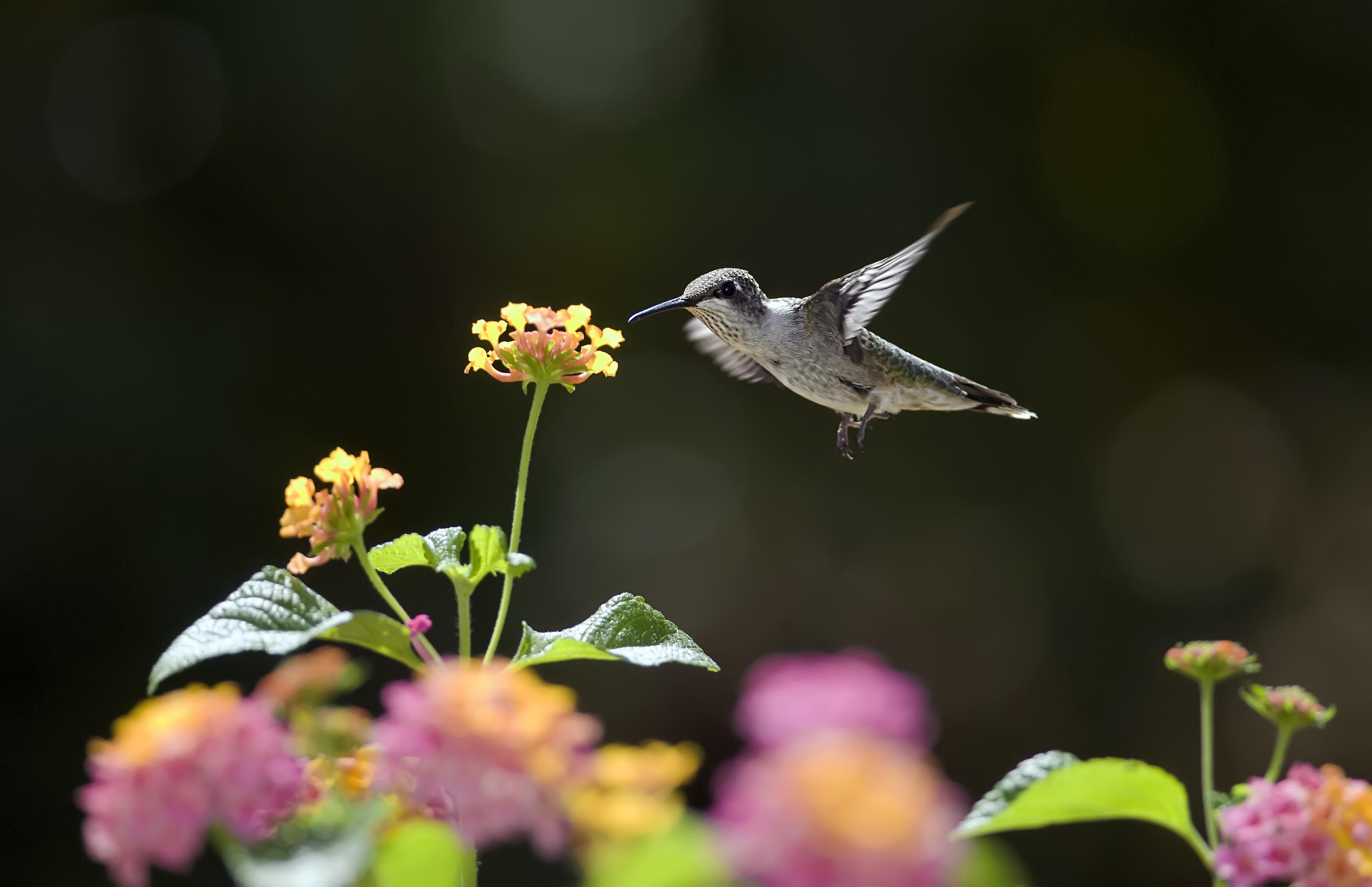 Hummingbirds flowers sunny nectar bird bokeh wallpaper 3428x2216
