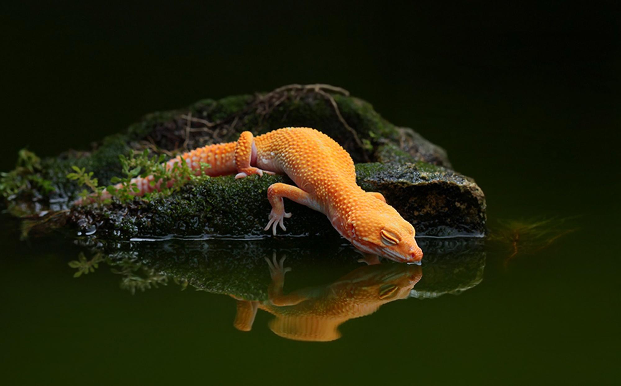 Lizard water reflection water gecko wallpaper | 2000x1242 ...