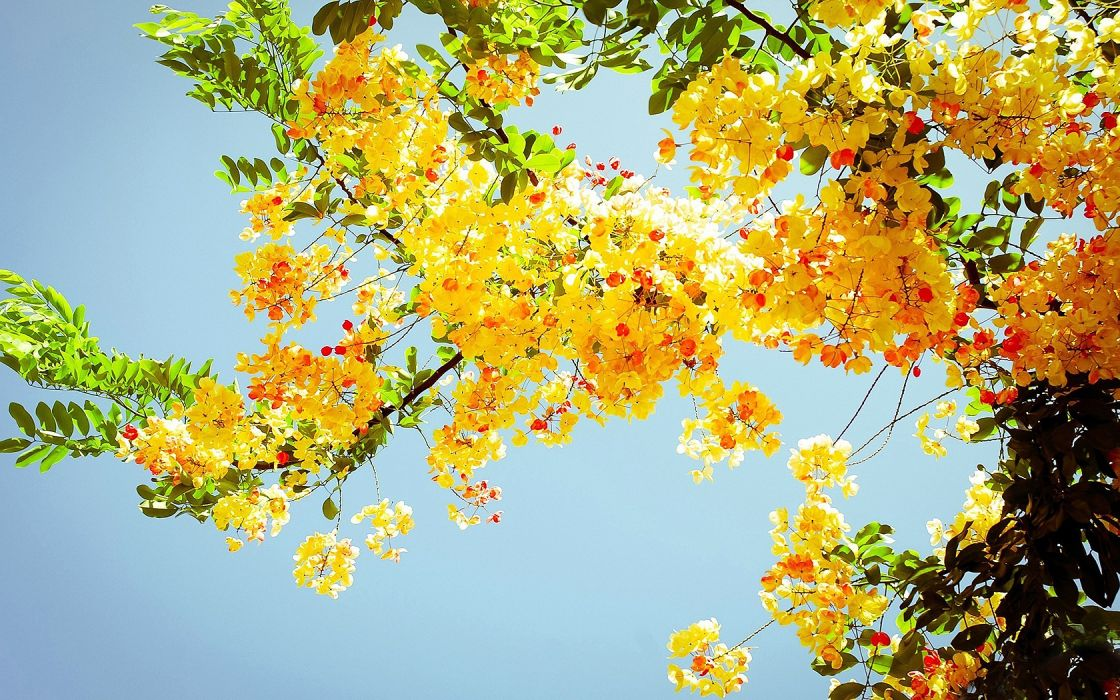 Flowers Tree Branches Yellow Wallpaper 1680x1050 135527