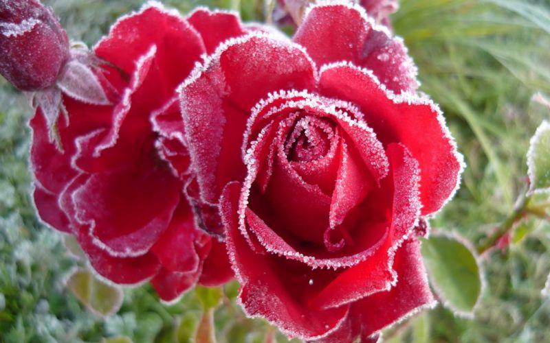 Роза  № 1599369 бесплатно