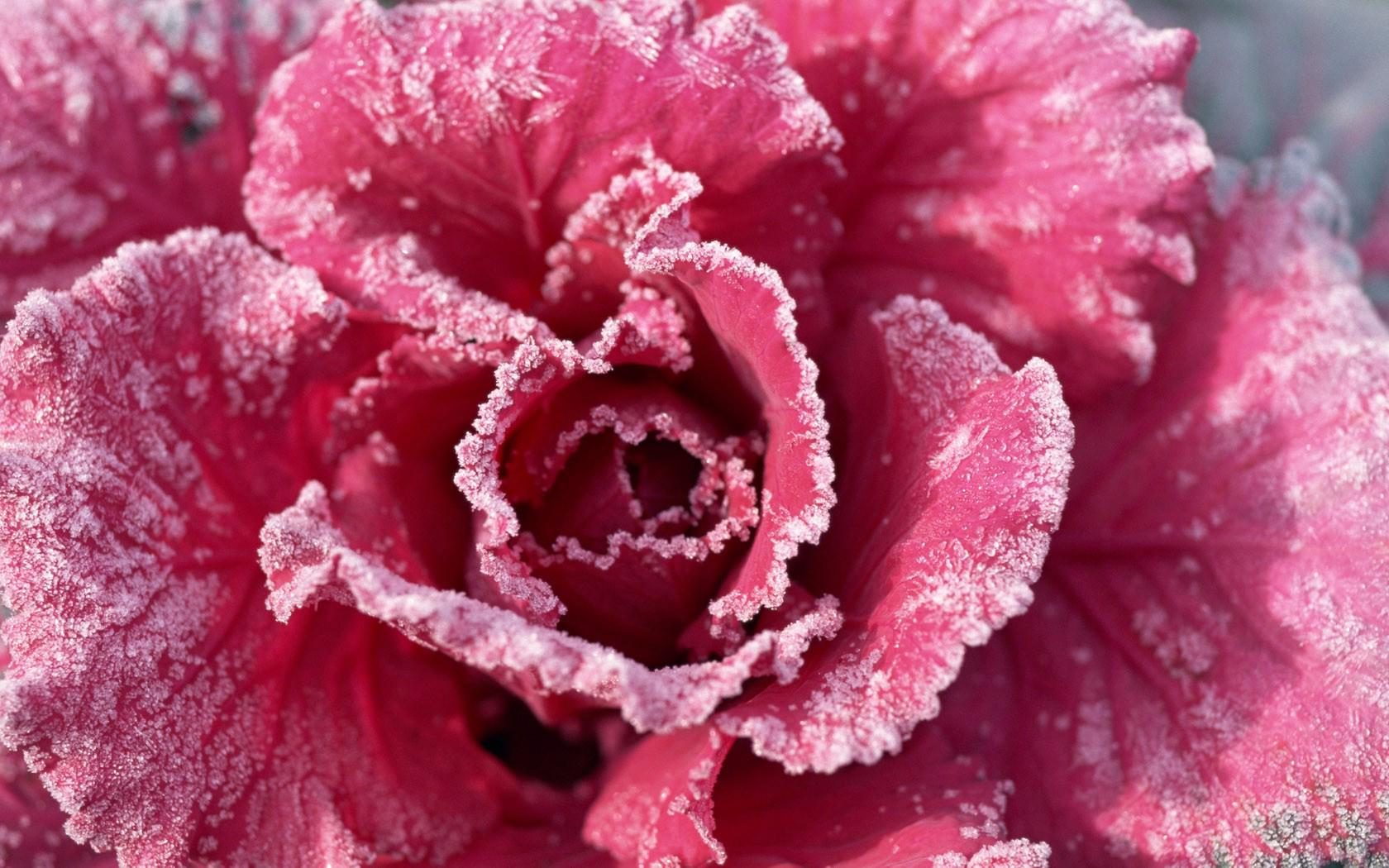 Flowers Rose Frozen wallpaper