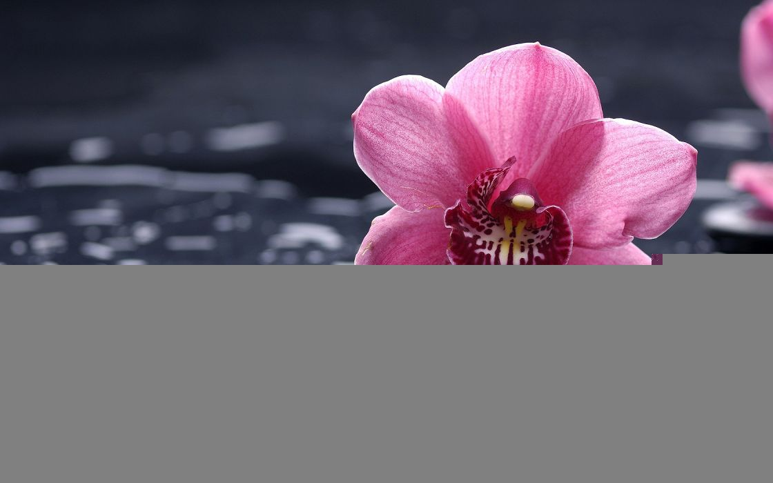 Flowers Orchid Water Drops wallpaper