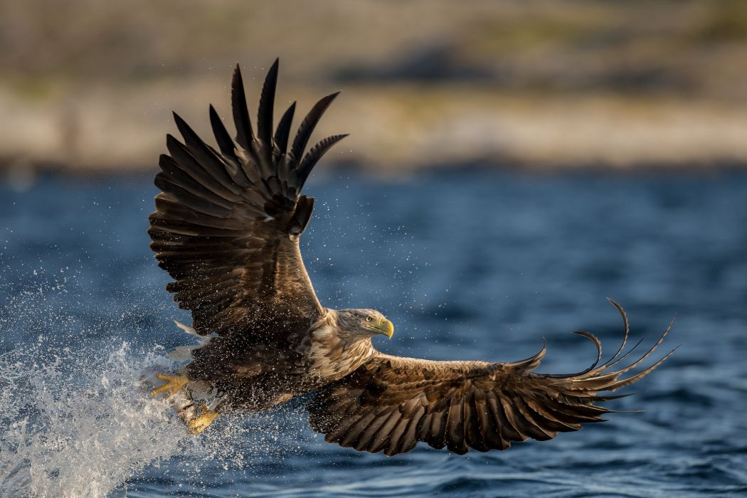 eagle bird predator wings water spray drops wallpaper