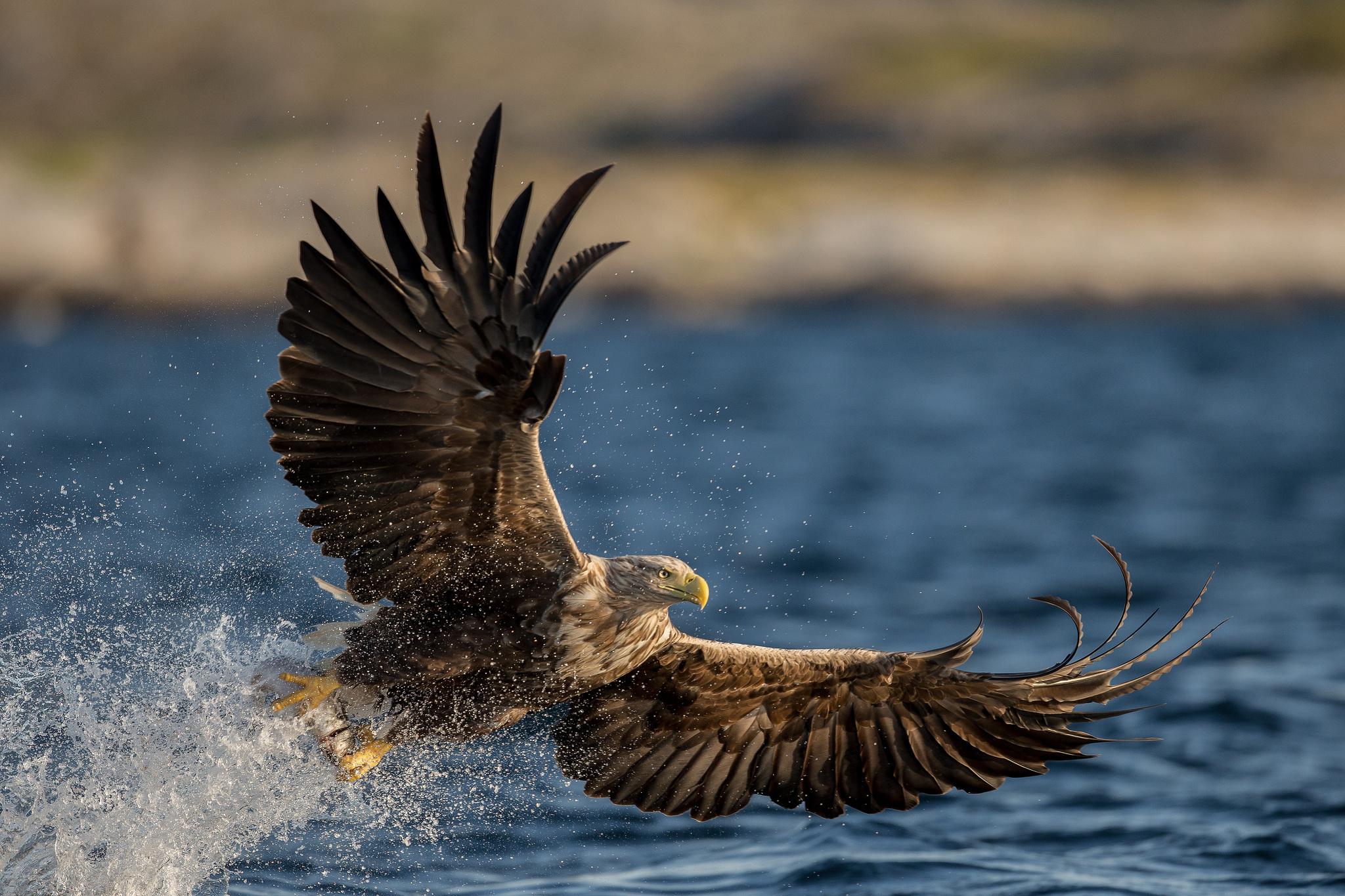 Wallpaper tail, birds, the dark background, Golden eagle, beak ...