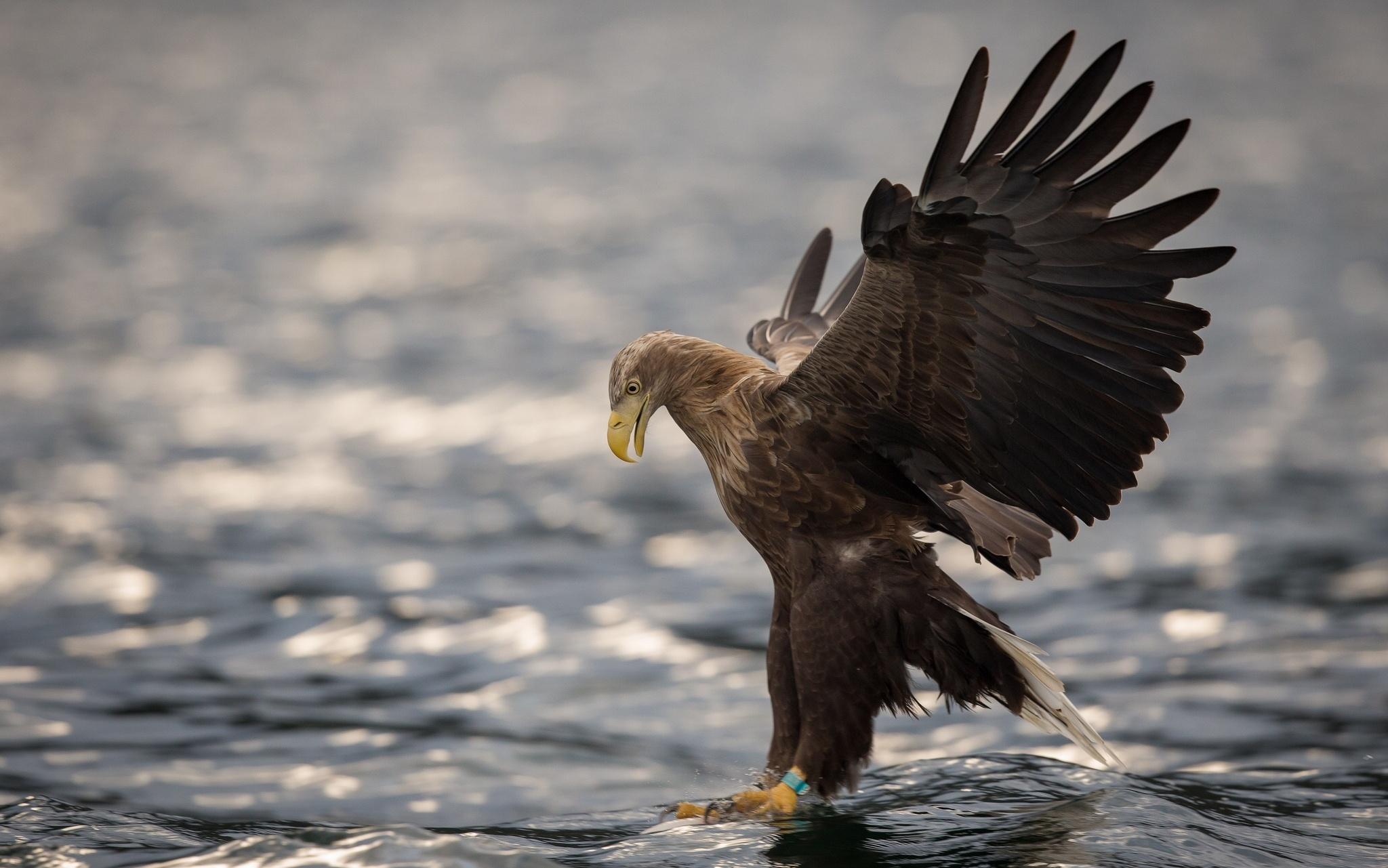 Black Eagle Bird Hd