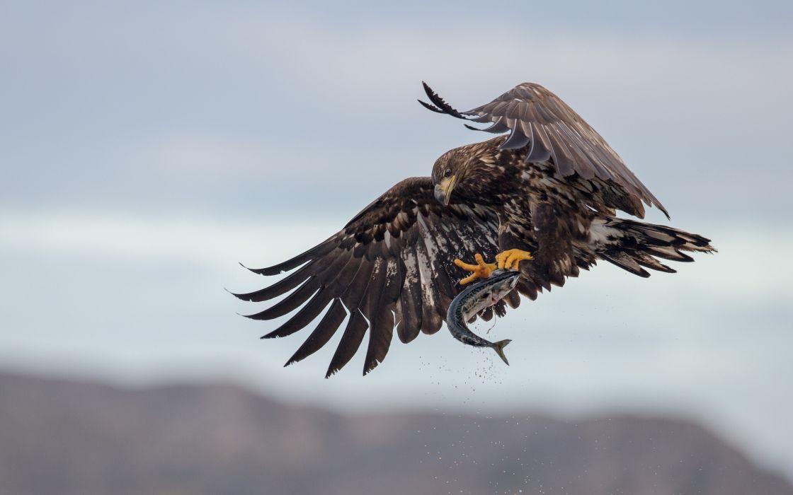 eagle catch prey fish poultry wallpaper