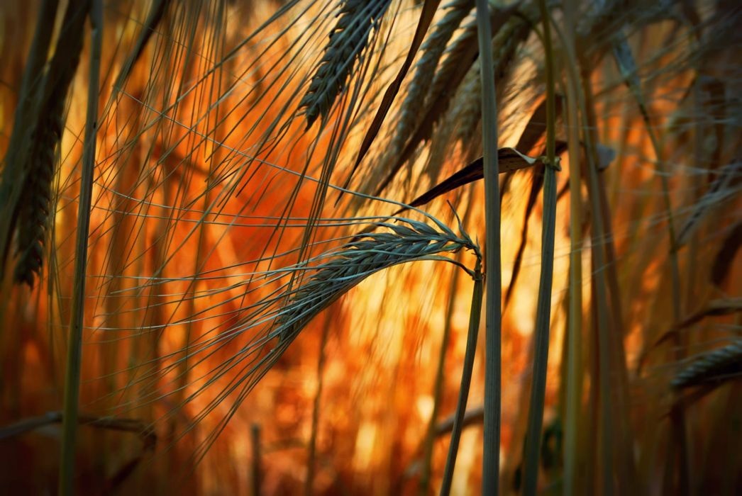 ears bright close-up field grass wheat bokeh wallpaper