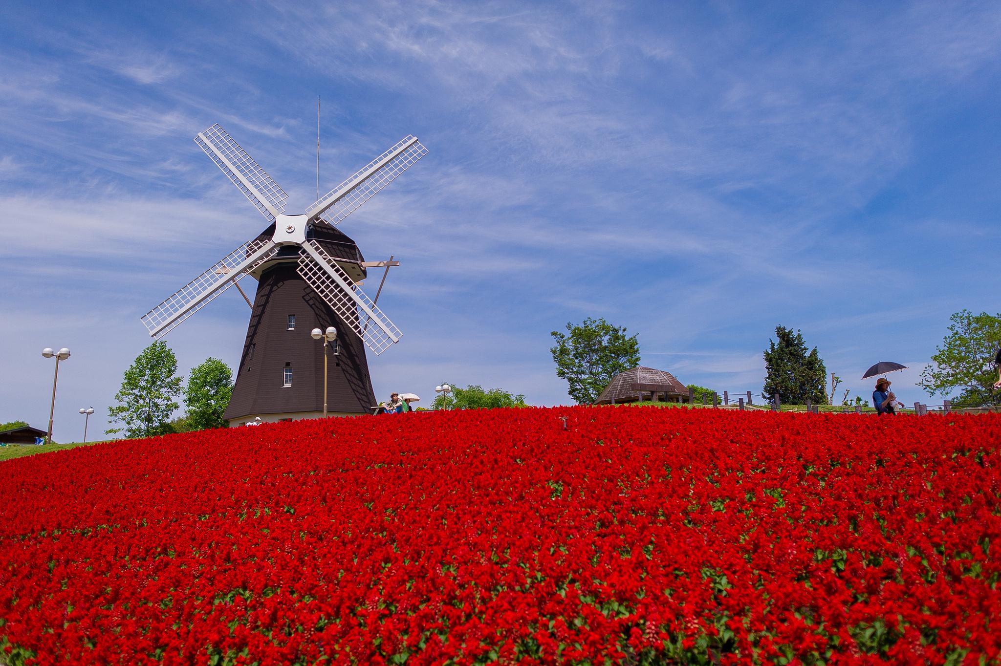 Flower Red Field Windmill Mill Wallpaper 2048x1363 135923 Wallpaperup
