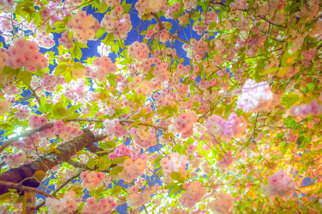 sakura cherry tree blossom spring branches wallpaper