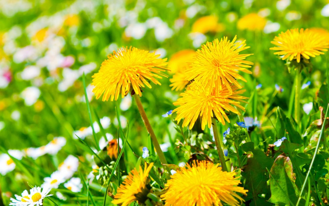 field flowers daisies dandelions yellow wallpaper