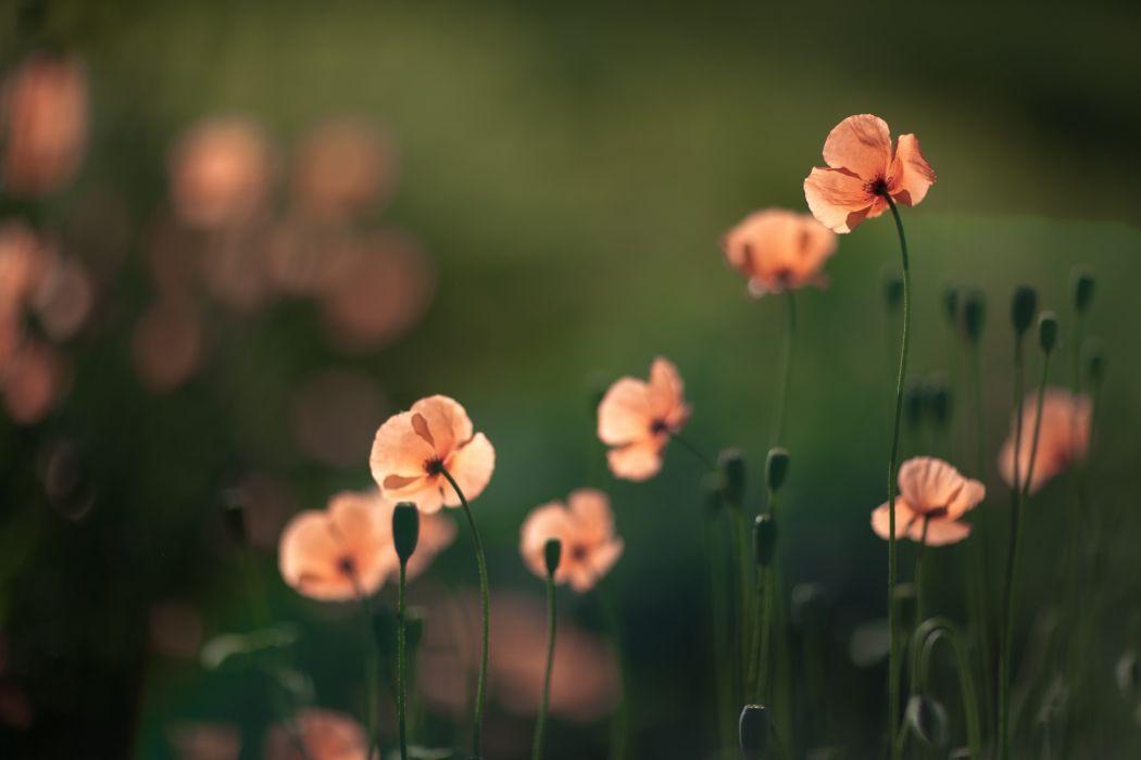 flowers poppies bokeh wallpaper