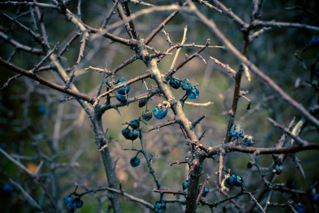 branches fall turn fruit autumn macro wallpaper