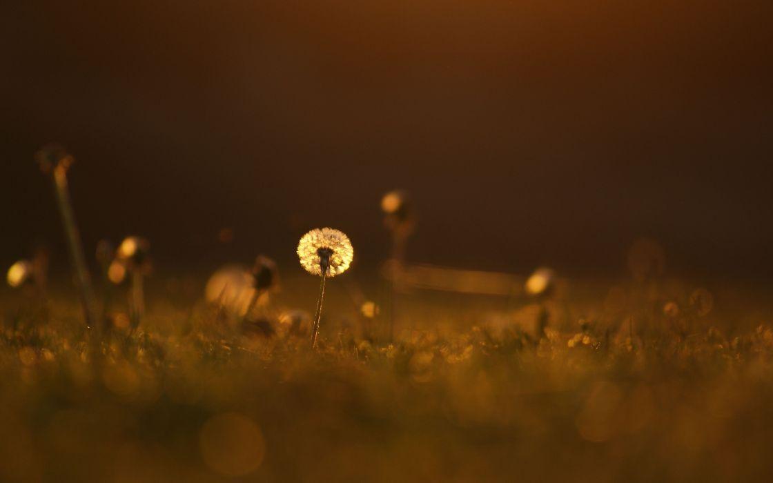 light color grass dandelion meadow close-up grass flower mood bokeh wallpaper
