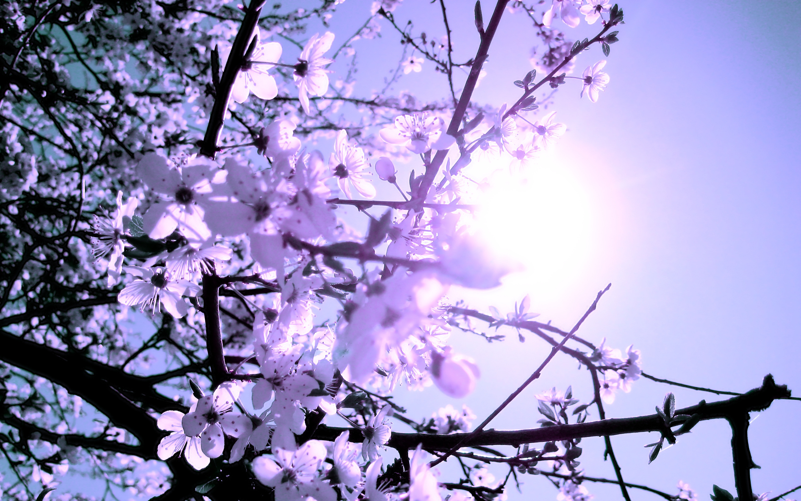 Tree Spring Flowers Branches Blossoms Wallpaper 2560x1600 136226