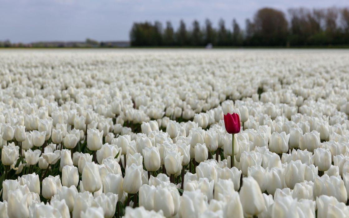 Tulips Fields Sea White Flowers bokeh wallpaper