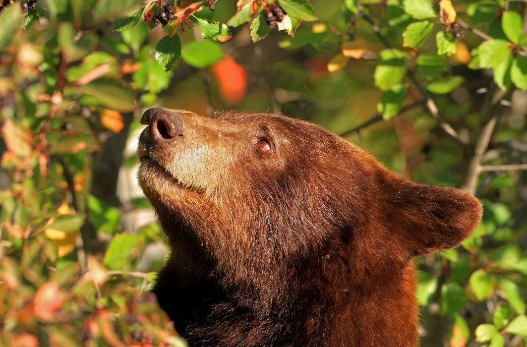 bear baribal head face wallpaper