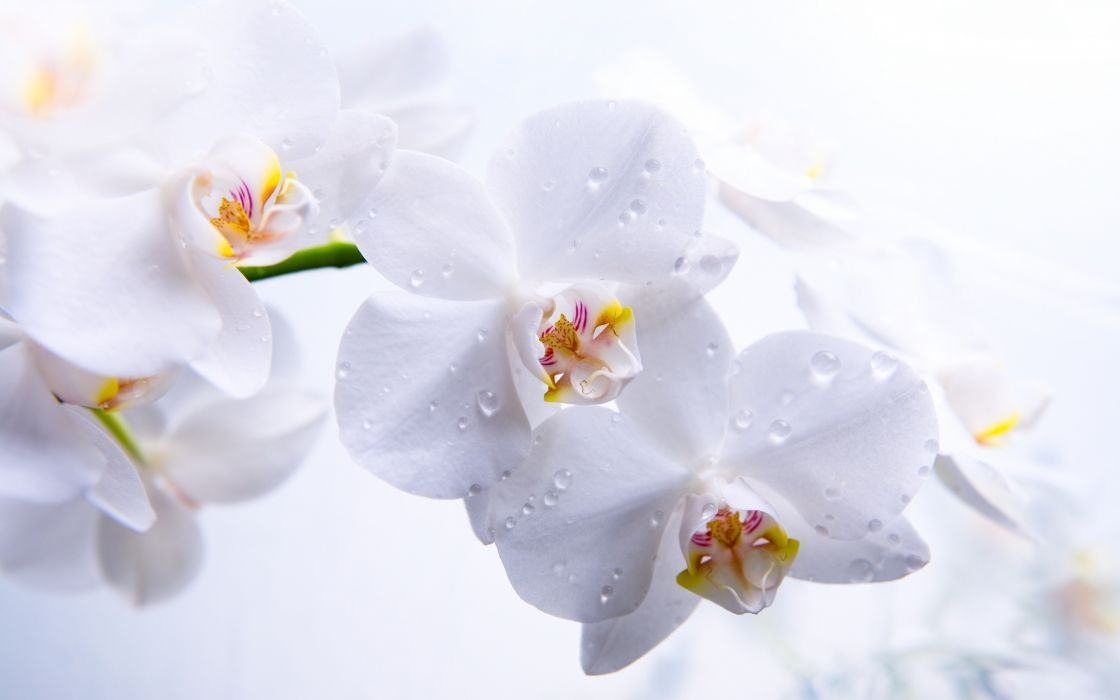 flowers orchids orchid drops wallpaper