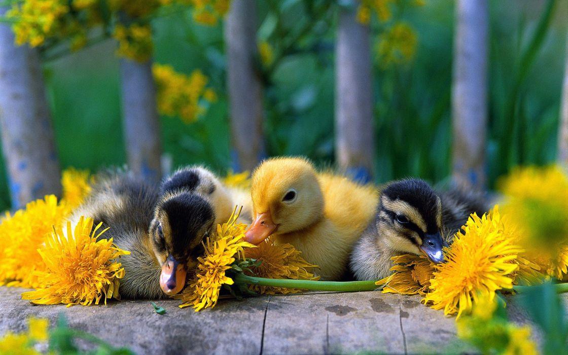 Birds Ducklings wallpaper