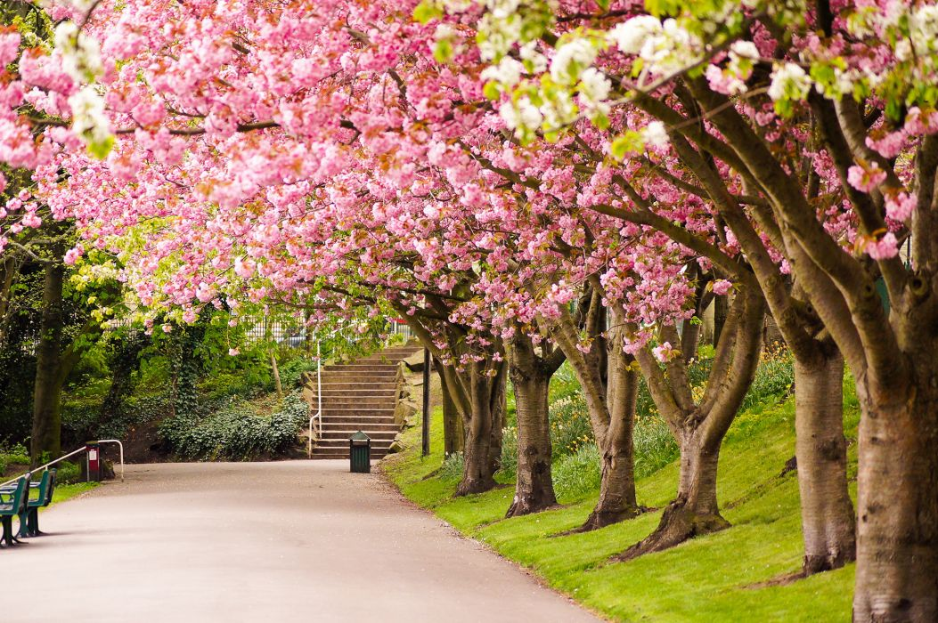 sheffield england great britain tree bloosom pink park garden wallpaper