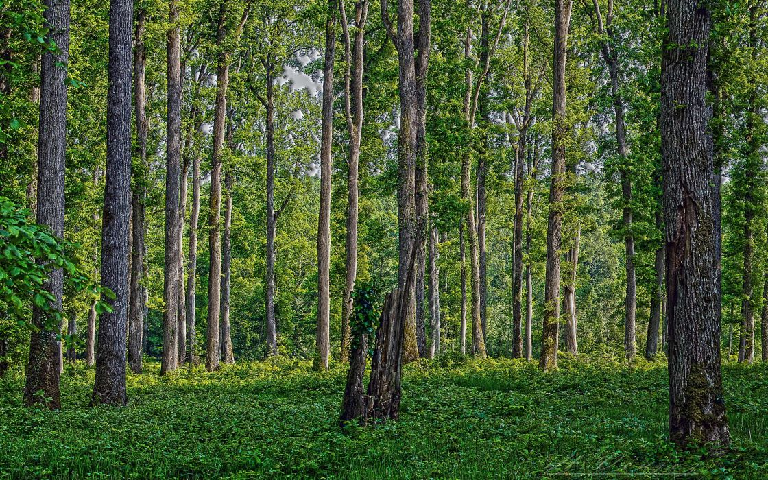 forest trees nature hdr wallpaper