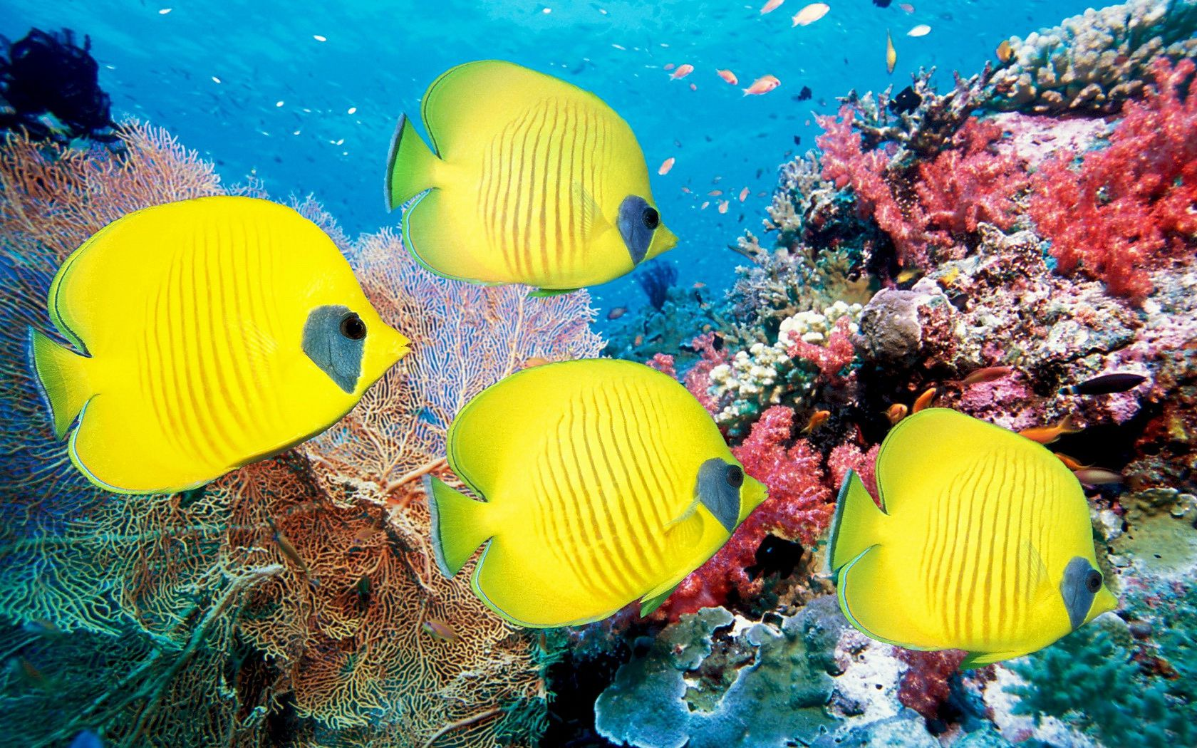 coral reef fish wallpaper 1680x1050 145656 wallpaperup