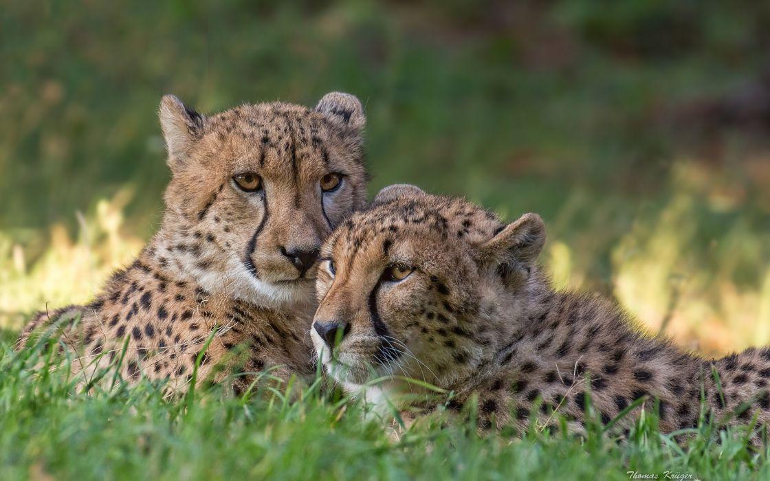 cheetah predators couple wallpaper