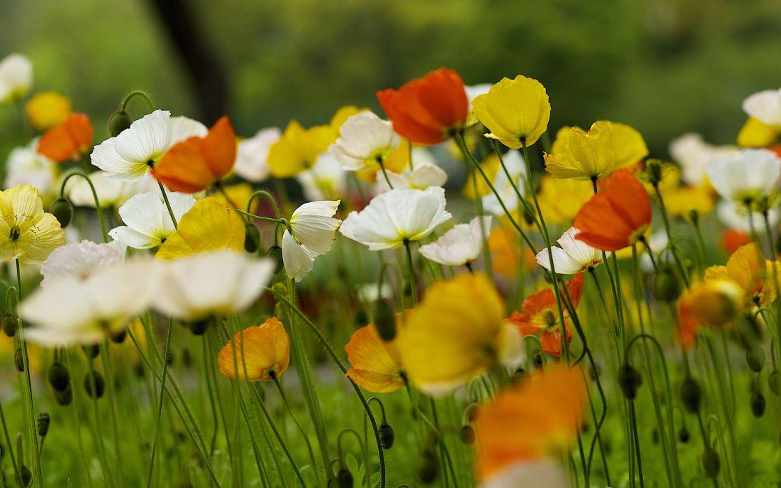 nature poppies summer field bokeh wallpaper