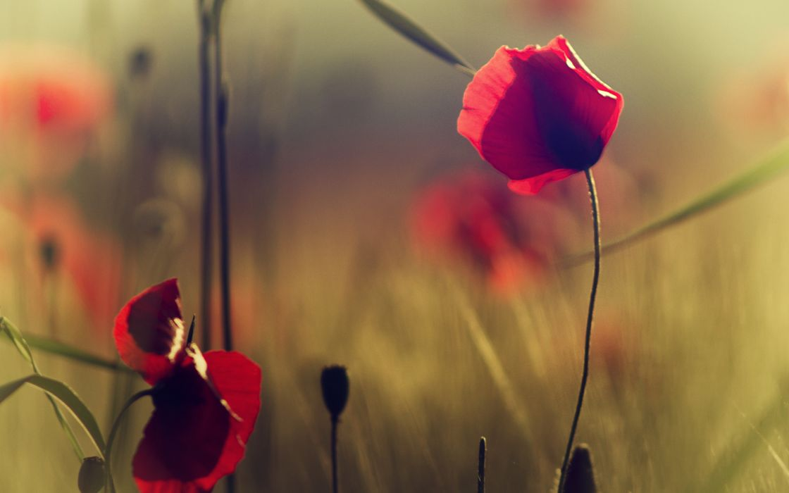 red flowers poppies grass field bokeh wallpaper