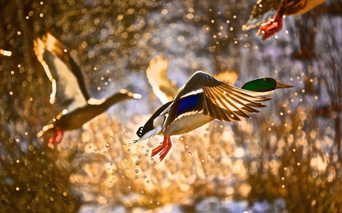 spray bird duck flying ducks drops autumn wallpaper