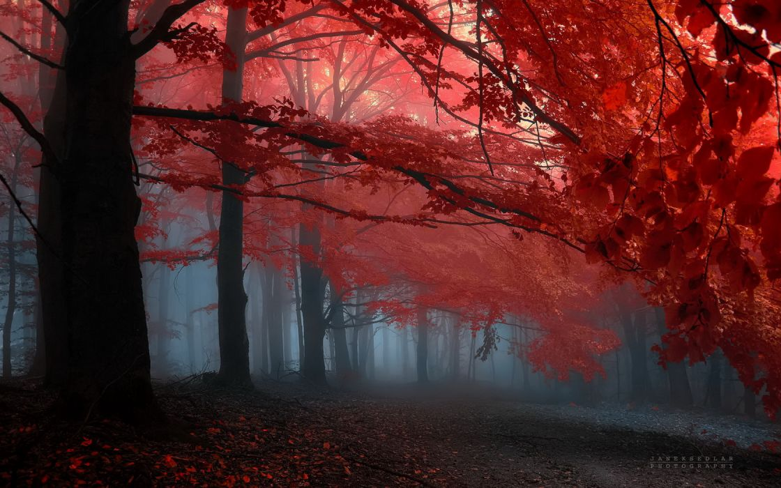 Tree Red Leafs Forrest wallpaper