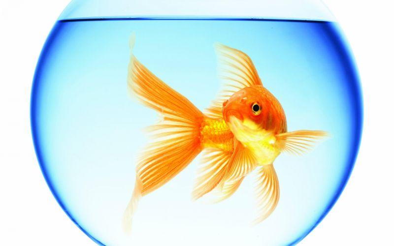 goldfish swimming aquarium round water reflection white background wallpaper