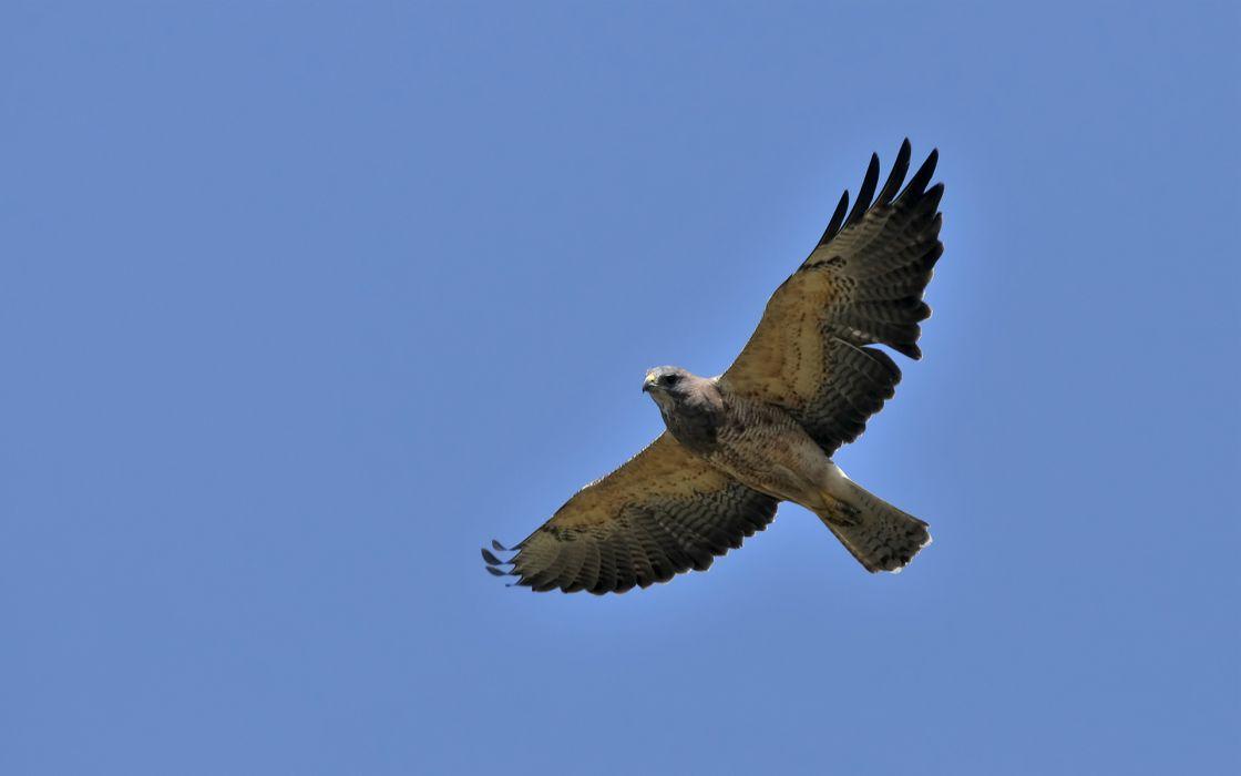 hawk sky flying bird wings wallpaper