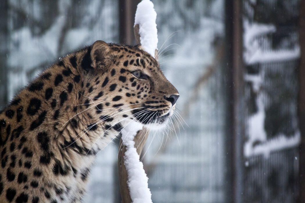 leopard the Amur wild cat muzzle wallpaper