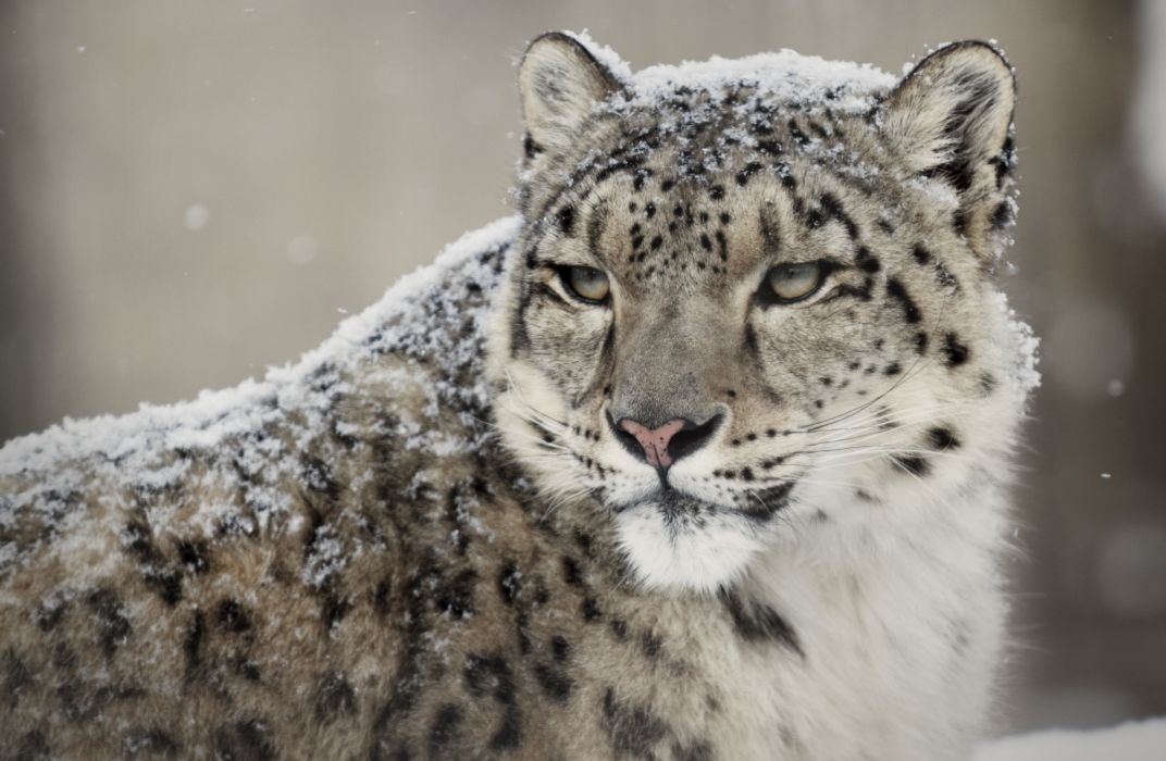 snow leopard wild cat muzzle wallpaper