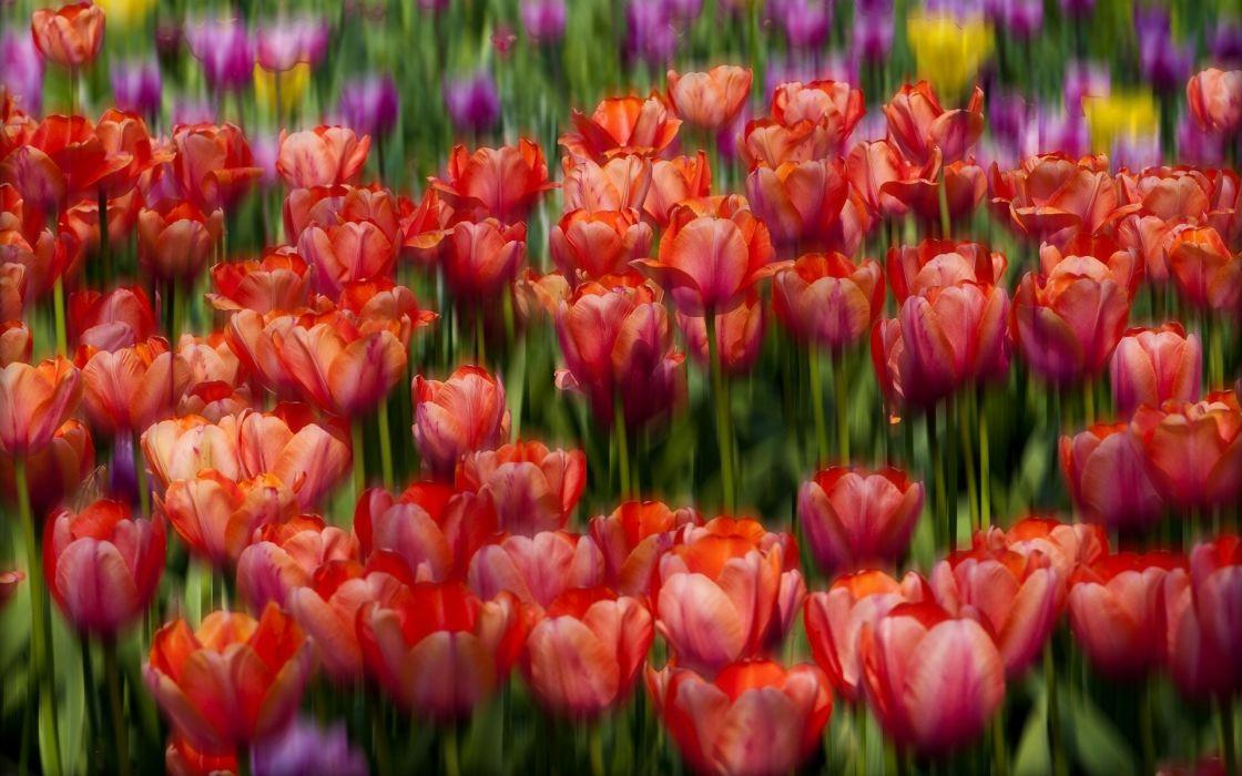 tulips buds bokeh wallpaper
