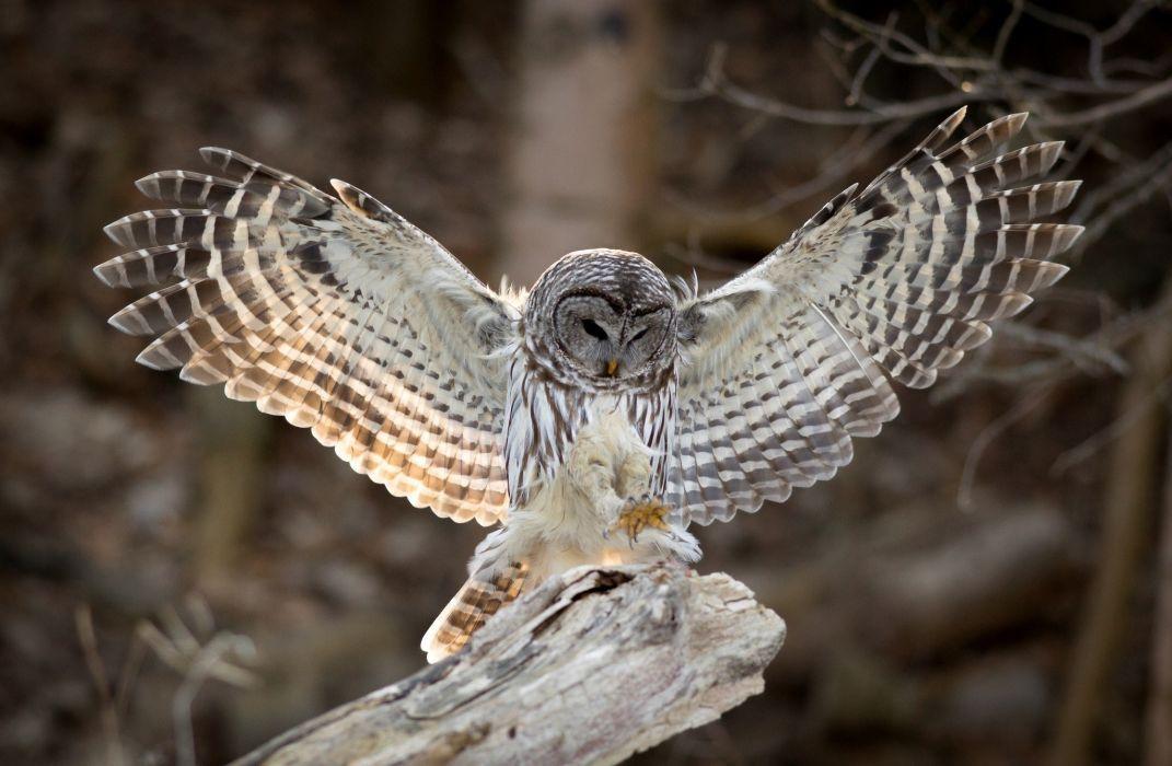 wings bird owl feathers wallpaper