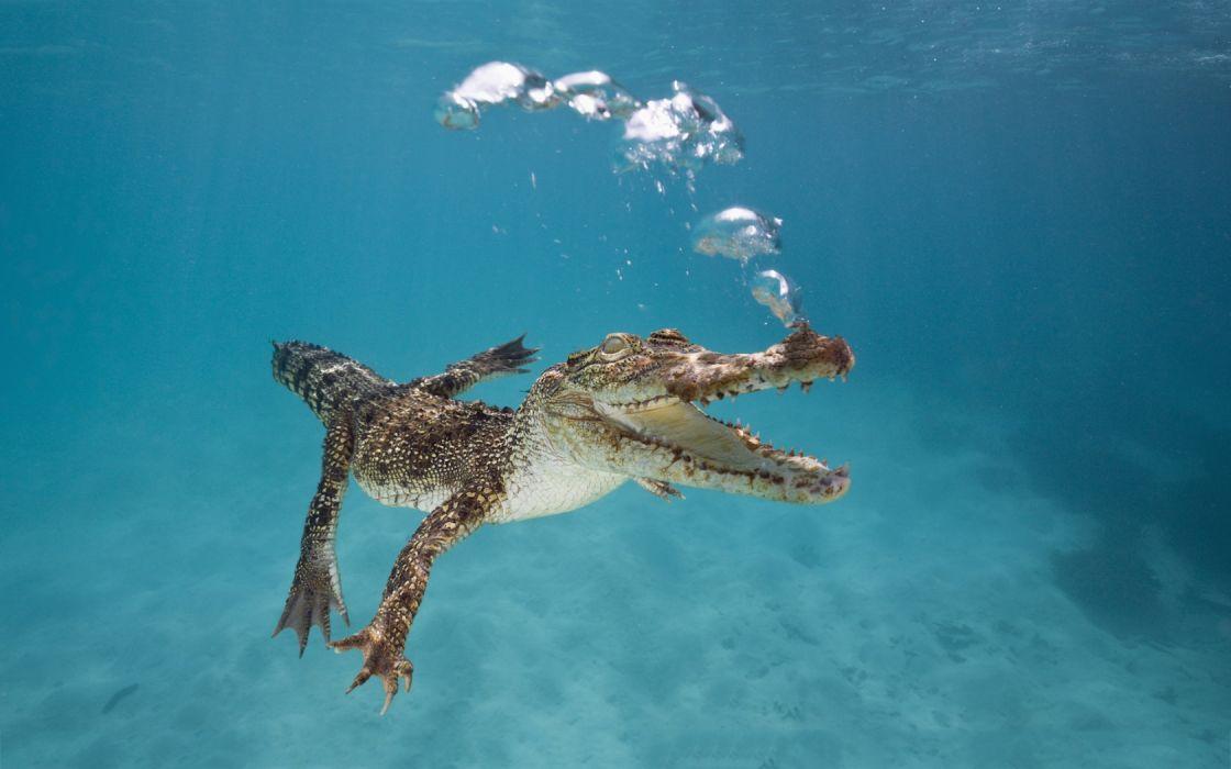 Crocodile Underwater wallpaper