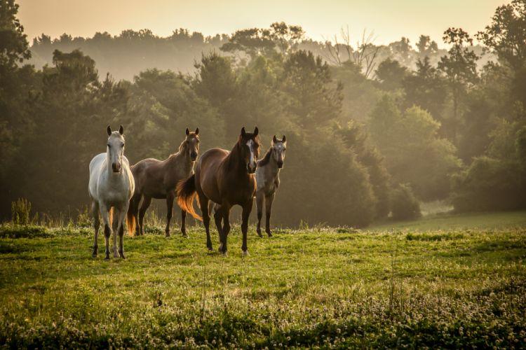 Horse fog sunrise mood wallpaper